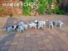 "Cesky Fousek Puppies ""Z Otuliny Puszczy FCI"""