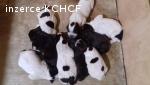 Prodám štěňata českého fouska