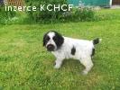 Štěně - pes českého fouska - bělouš
